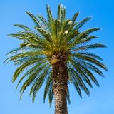 Green palm tree Royalty Free Stock Image
