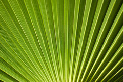 Green palm tree Royalty Free Stock Photography