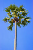 Green palm tree on blue sky background Royalty Free Stock Photo