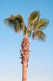 Green palm tree on blue sky Stock Photo