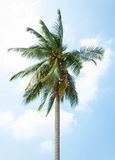Green palm tree on blue sky Royalty Free Stock Photos