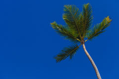 Green palm tree on blue sky Royalty Free Stock Photo