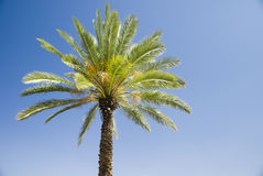 Green palm tree on blue sky background Stock Photography