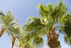 Green palm tree on blue sky background Royalty Free Stock Photography