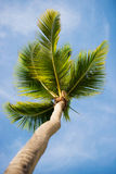 Green palm tree on blue sky background.  Royalty Free Stock Photography