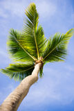 Green palm tree on blue sky background.  Stock Photography