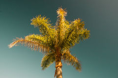 Green palm tree on blue sky background. Royalty Free Stock Image