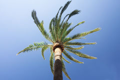 Green palm tree on blue sky background. Royalty Free Stock Photos