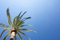 Green palm tree on blue sky background. Royalty Free Stock Photo