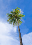 Green palm tree on blue sky background Royalty Free Stock Image