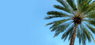 Green palm tree on blue sky background with copy space Royalty Free Stock Photography