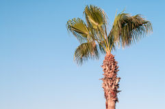 Green palm tree on blue sky background Royalty Free Stock Photos