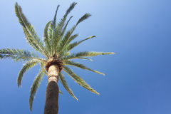 Green palm tree on blue sky background. Royalty Free Stock Images