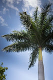 Green palm tree on a blue sky background. With high clouds, Merida, mexico Stock Images