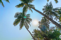 Green palm tree on blue sky background and sun Stock Image