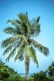 Green palm tree on blue sky background Royalty Free Stock Images