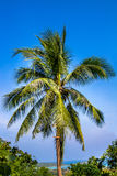 Green palm tree on blue sky background Stock Images