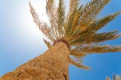 Green palm tree on blue sky Royalty Free Stock Photo