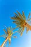 Green palm tree on blue sky Royalty Free Stock Image