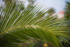 Green palm tree branch in the bright sun. Green palm tree branch in the bright sun in Tenerife, Spain. Nature is full of live and joy in the tropical island Royalty Free Stock Image