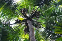 Green palm tree with coconuts. Coco palm top view from ground. Tropical tree toned photo. Natural backdrop for summer vacation holiday banner. Exotic nature Royalty Free Stock Images