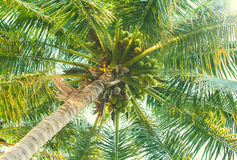 Green palm tree with coconuts. Coco palm top view from ground. Royalty Free Stock Photography