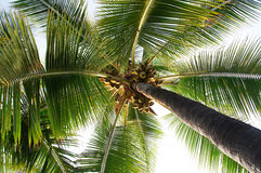 Green palm tree with coconuts Royalty Free Stock Photo