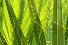 Green palm tree detail Royalty Free Stock Photo