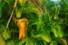 Green palm tree fronds turning golden stock images