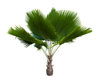 Palm tree isolated on white Royalty Free Stock Photo