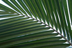 Green palm tree leaf Royalty Free Stock Images
