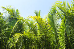 A green palm tree Royalty Free Stock Image