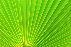 Free Green Palm Tree Leaf Royalty Free Stock Images - 57009749
