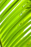 Green palm tree leaf as a background Royalty Free Stock Images