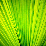 Green palm tree leaf as a background Stock Image