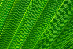 Green palm tree leaf background Royalty Free Stock Image