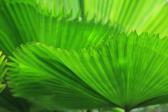 Green palm tree leaf Stock Images