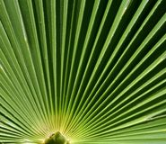 Green palm tree leaf detail, lines, abstract. Palm tree leaf detail on a sunny day, green lines, abstract art Stock Photo