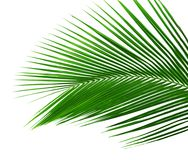 Palm tree leaf isolated. Green palm tree leaf isolated on white background Stock Photo