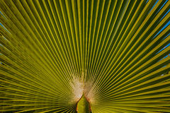 Green palm tree leaf texture Stock Image