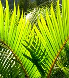 Green palm tree leave Royalty Free Stock Photos