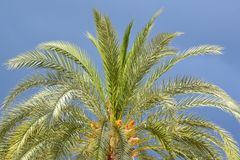 Palm tree crone on dark blue sky royalty free stock photography