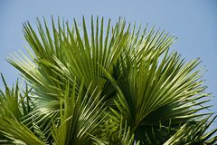Green palm tree leaves unique natural photo. Beautiful green palm tree leaves isolated unique natural photo stock image