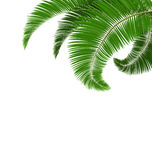 Green palm tree leaves  on white Stock Photography