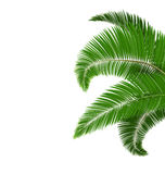 Green palm tree leaves  on white Royalty Free Stock Image