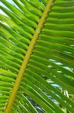 Green palm tree. Stock Images