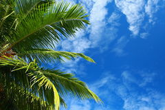 Green palm tree over blue sky Royalty Free Stock Photo