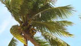 Green palm tree with ripe coconut on clear sky background. Coconut palm treess waving on sea wind on summer beach. Green palm tree with ripe coconut on clear stock footage