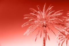 Green palm tree Summer holidays Living coral pantone. Green palm tree against sunny blue sky. Summer holidays background. Living coral pantone colored royalty free stock images