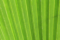 Green palm tree texture Royalty Free Stock Photography